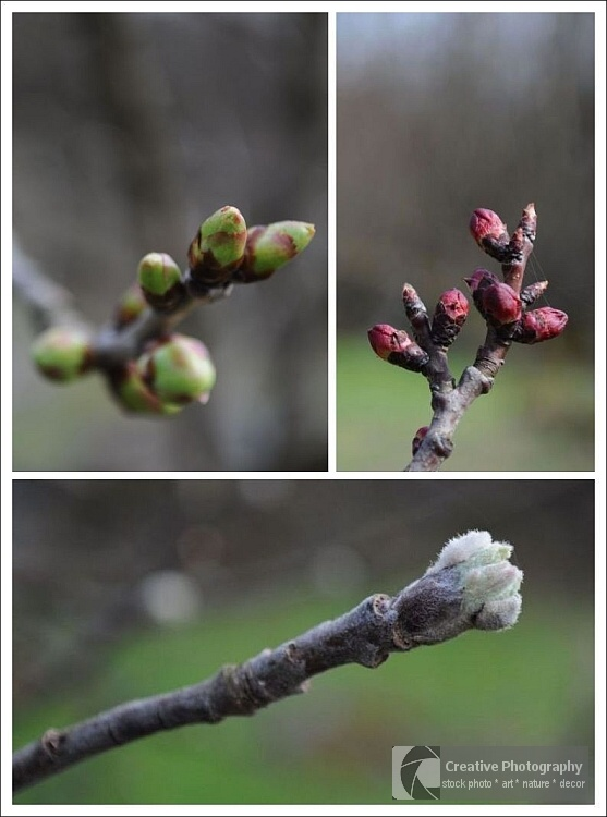 Collage of three photos with tree twigs with green, red and white buds in the spring