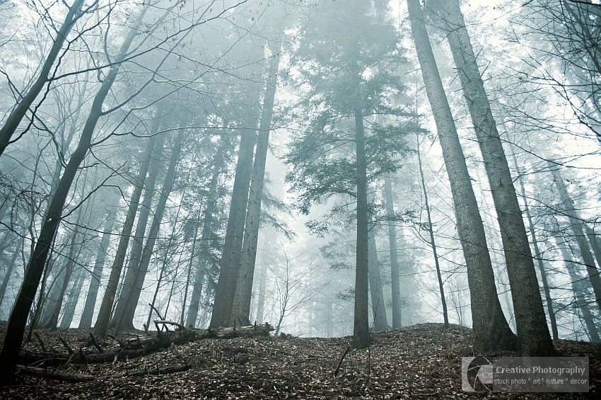 Hight trees in the misty forest