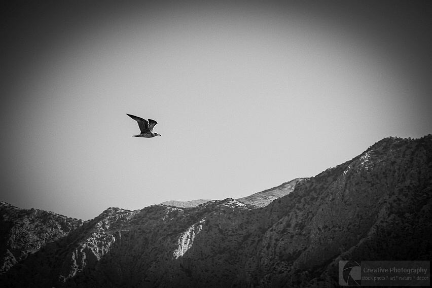 Black and white photo of flying bird