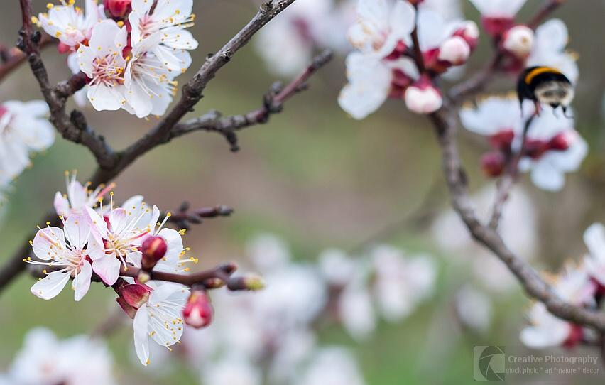 cherry tree flowers in the spring