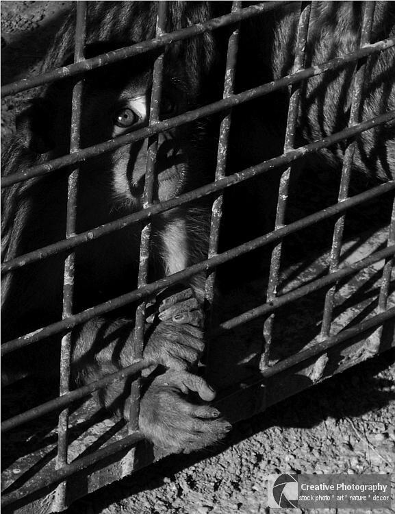 monkey prayer for the freedom, black and white photo