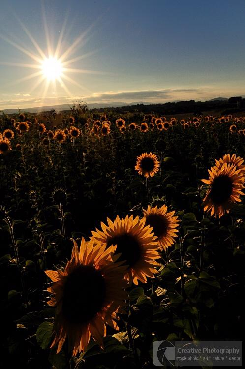Sunflower field at sunset in the summer