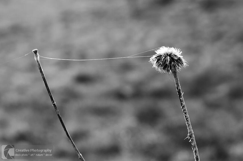 Two plants are connected with cobweb. Black and white photo