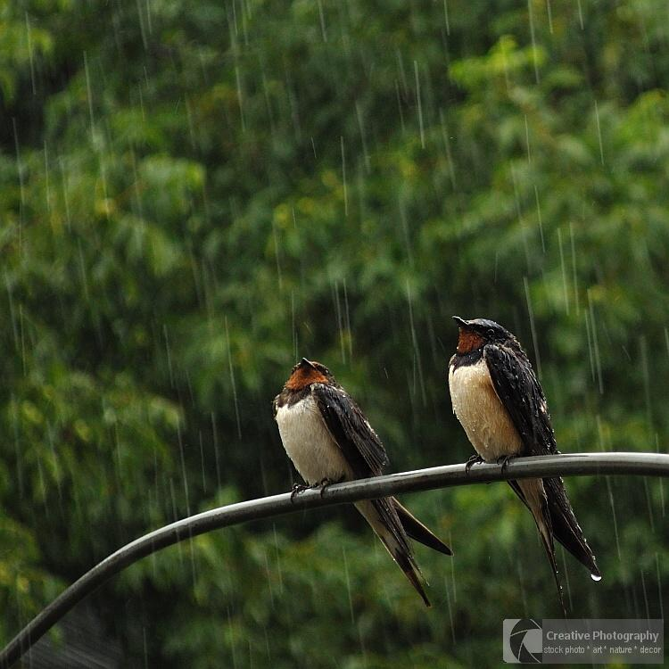 Two swallow in the rain