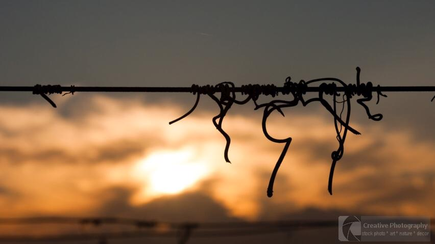 vine crook on wire in sunset