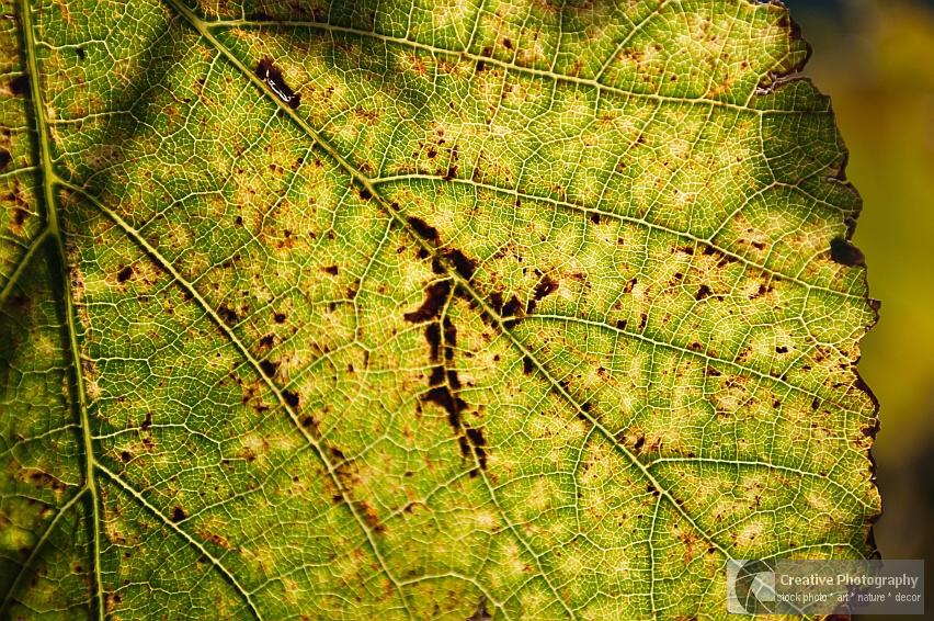 Vine leaf texture in autumn