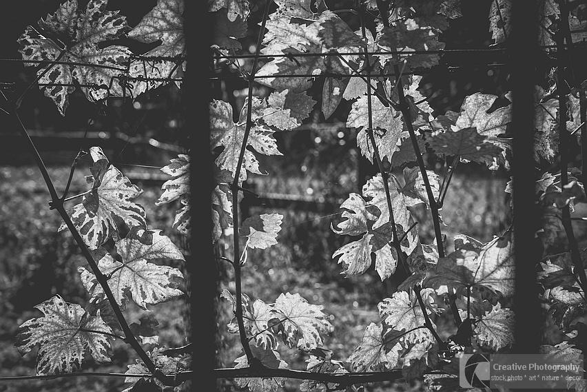 Vine leaves in the autumn, black and white photo