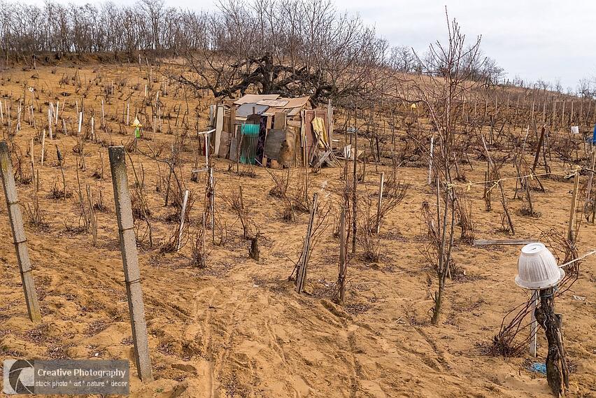 old vineyard in the spring