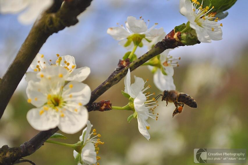 Working bee at blooming tree