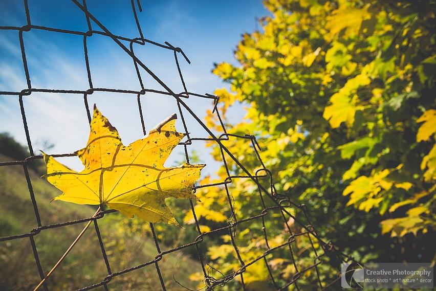 Yellow leaf on the fence in the autumn